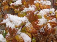 Early Snow on Raspberry Bush